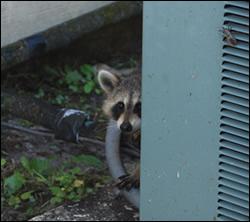 raccoon removal North Carolina