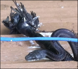 snake removal  North Carolina